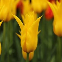 Tulipa 'Flashback'®