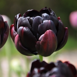 Tulipa 'Black Hero'