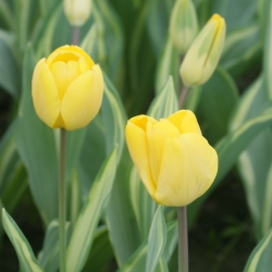 Tulipa 'Yellow Wave'