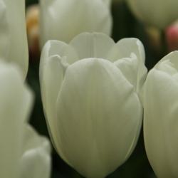Tulipa 'Maureen'