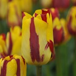 Tulipa 'Helmar'