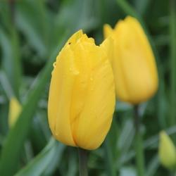 Tulipa 'Stronggold'