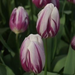 Tulipa 'Flaming Flag'