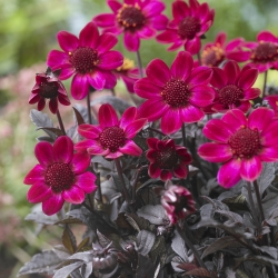 Dahlia 'Dark Angel Braveheart'