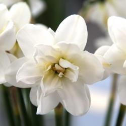 Narcissus 'Albus Plenus...