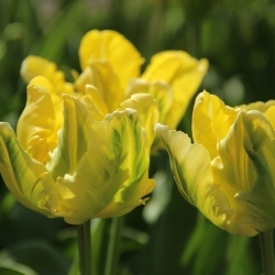 Tulipa 'Yellow Madonna'