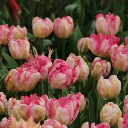 Tulipa 'Silver Parrot'®