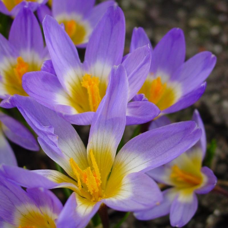 Prächtig Crocus sieberi subsp. sublimis 'Tricolor' #RW_99