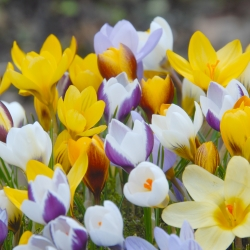 Crocus -chrysanthus mix-