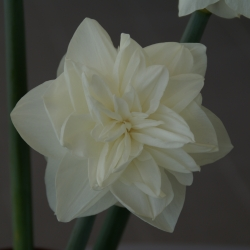 Narcissus 'White Medal'®