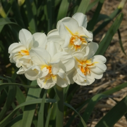 Narcissus 'Sir Winston...