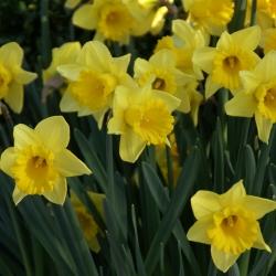Narcissus 'Rijnvelds Early...