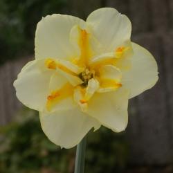 Narcissus 'Donaupark'