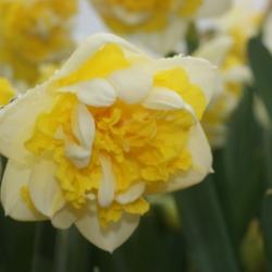Narcissus 'Doctor Witteveen'