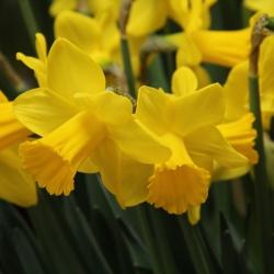 Narcissus 'Arctic Gold'