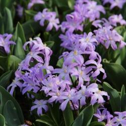 Chionodoxa luciliae 'Violet...