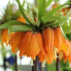Fritillaria 'Garland Star'