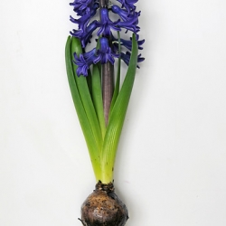 Hyacinthus 'Blue Star'...