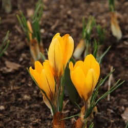 Crocus vernus 'Yellow...