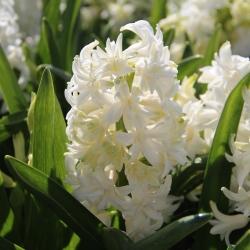 Hyacinthus 'Madame Sophie'