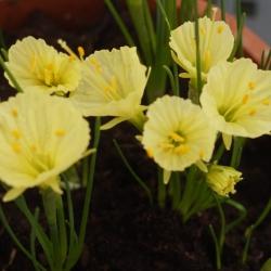 Narcissus romieuxii 'Julia...