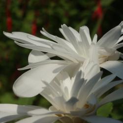 Colchicum autumnale...