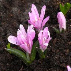 Colchicum bulbocodium
