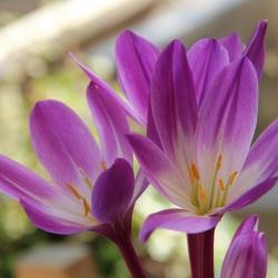 Colchicum speciosum...