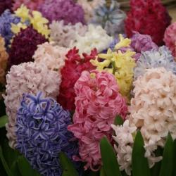 Hyacinten mix
