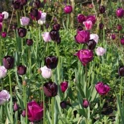Tulipa 'Tuinerie-Mix' ®