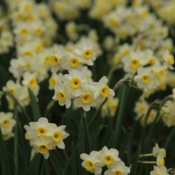Narcissus 'Minnow'