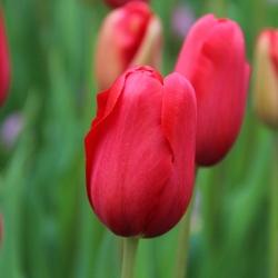 Tulipa 'Sky High Scarlet'®