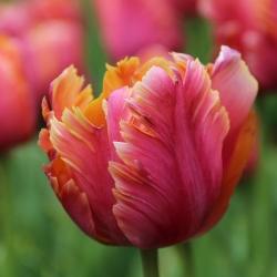 Tulipa 'Amazing Parrot'®