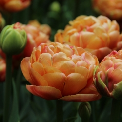 Tulipa 'Copper Image'®
