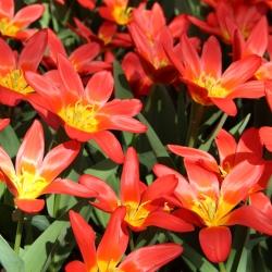 Tulipa 'Scarlet Baby'