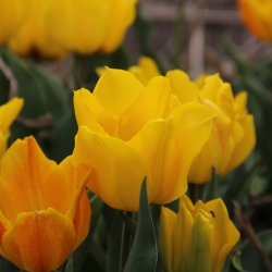 Tulipa 'Golden Tango'