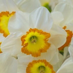 Narcissus 'Roulette'