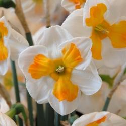 Narcissus 'Tricollet'