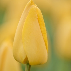 Tulipa 'Golden Parade'