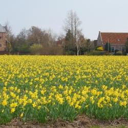 Narcis 'Carlton' 100 st.