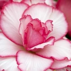 Begonia Picotee -wit-