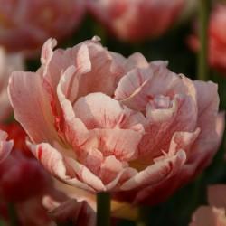 Tulipa 'Peptalk'