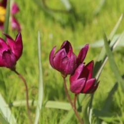 Tulipa humilis 'Odalisque'