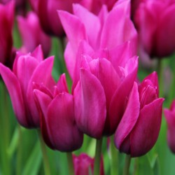 Tulipa 'Night Club'