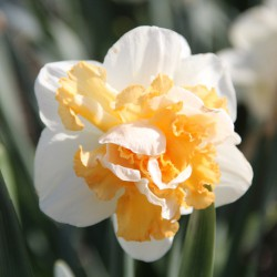 Narcissus 'Peach Prince'