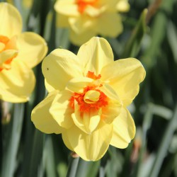 Narcissus 'Ascot'