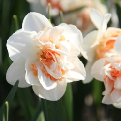 Narcissus 'Pink Paradise'
