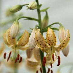 Lilium martagon 'Guinea Gold'