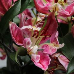 Lilium 'Parrot Pink Carriba'