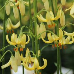 Lilium martagon 'Golden...
